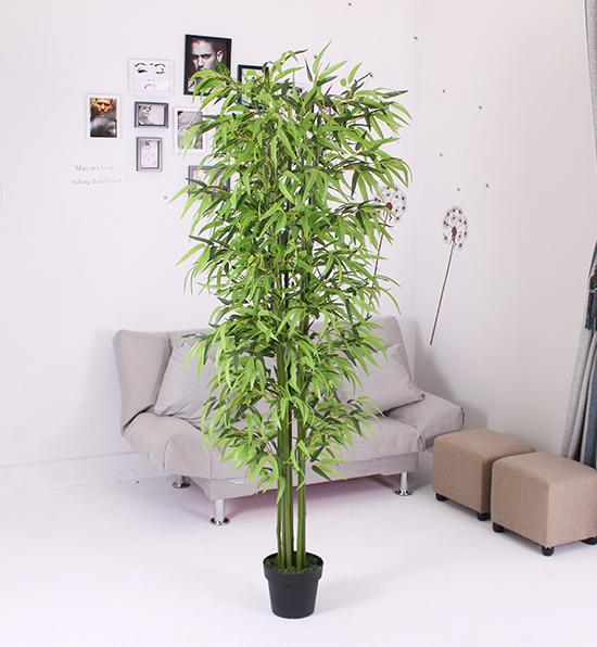 八叉四季竹