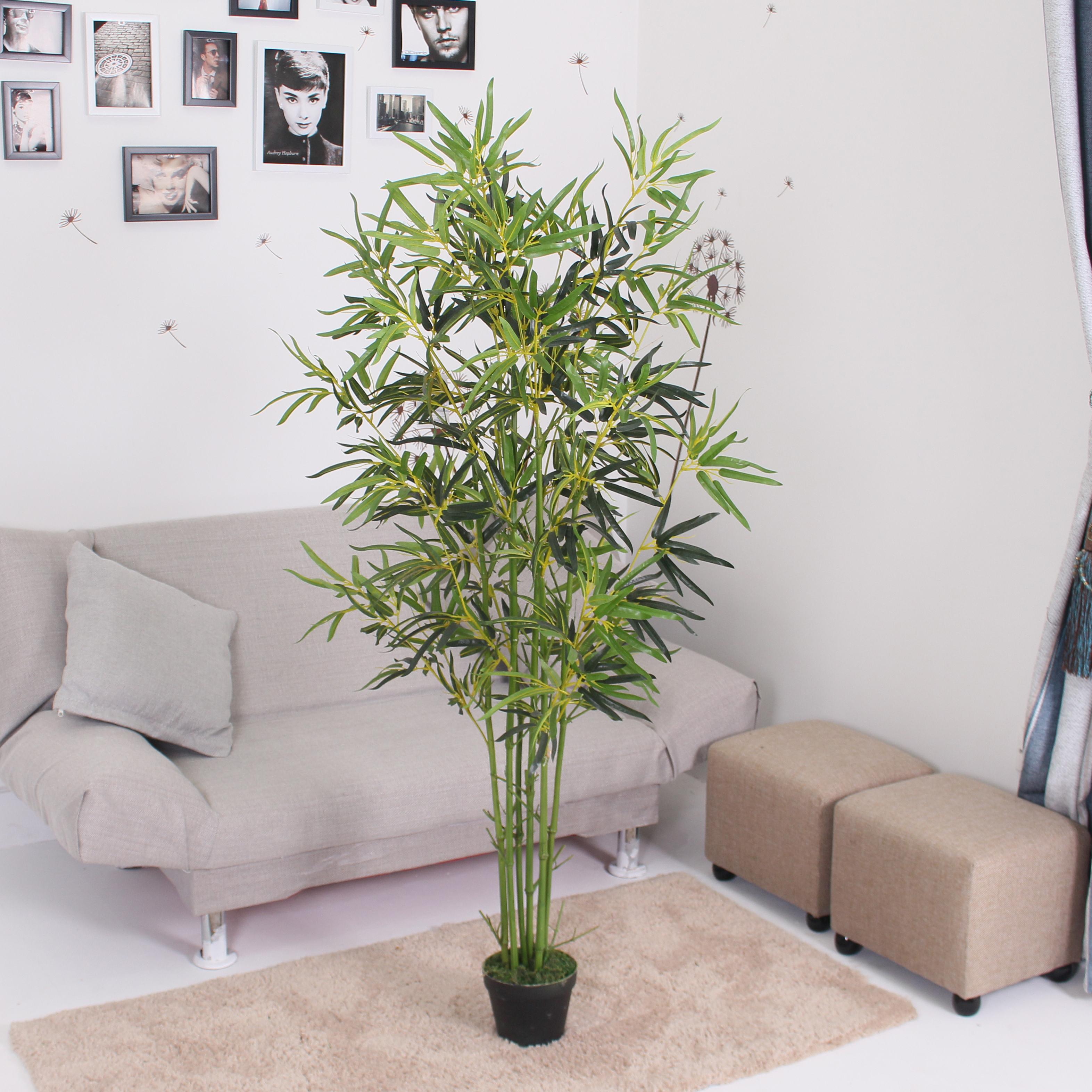 1.6米金竹