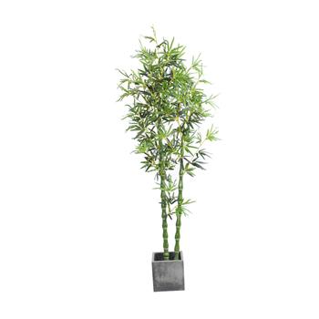 2.1米二叉佛肚竹