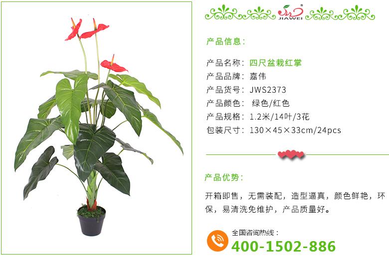 四尺盆栽红掌